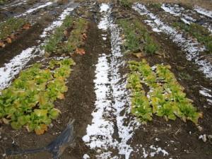 陸前高田にも雪が降りました.今日ですべて収穫します.