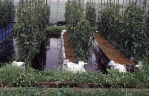 水田トマト栽培