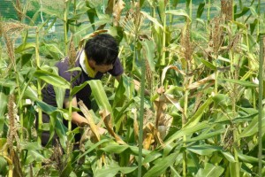 繁茂したトウモロコシの畝に入り生育調査を行います.