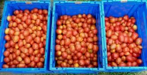 本日収穫されたクッキングトマトです.右からにたきこま,なつのこま,すずこまです.