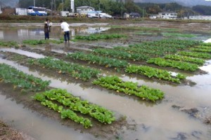 畝間はすっかり水たまりです.そんな中で生育調査をしています.