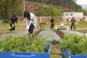 トウモロコシ苗とトマト苗の定植