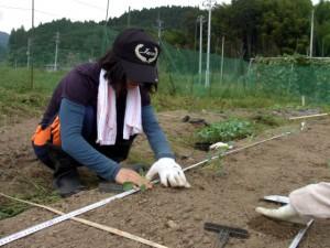カリフラワー(美星,オレンジ美星)の定植作業をしています.