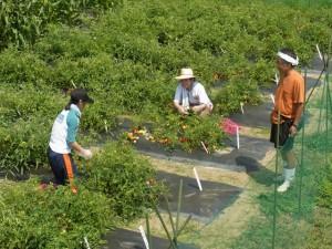 クッキングトマトを収穫するメンバー.園芸グループリーダー岡田さん(右)が指揮を執ります.