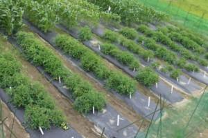 トウモロコシもクッキングトマトもだいぶ大きく育ってきました.