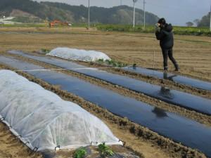 半数のトマト苗に不織布の「べたがけ」を施して促成栽培効果を調べます.