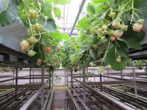 田野畑村のSさんは、菌床シイタケで使った可動棚を利用して高設栽培