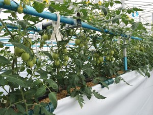 Tさんは、もみ殻高設栽培装置でクッキングトマト(すずこま)も栽培