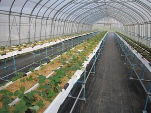 大槌町のAさんは、冬春どりイチゴにもみ殻培地を利用