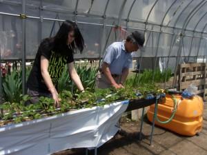 イチゴ栽培の簡易高設ベッドに遮光シートを張りました.