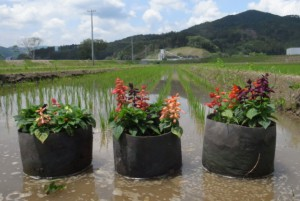 もみ殻湛水栽培をおこなうポット植えの花
