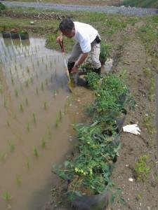もみ殻湛水栽培(クッキングトマト)