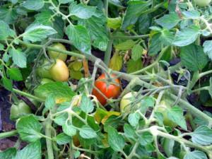 赤く色づいてきたクッキングトマト