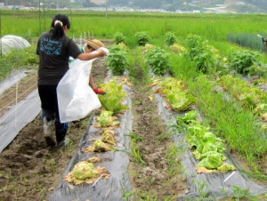 レタス収穫の様子