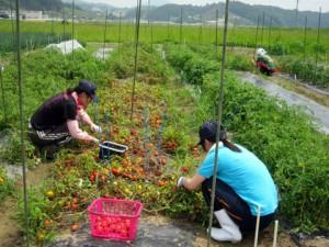 収量調査中,トマトが真っ赤に色づいています.