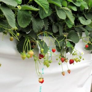 鈴なりの簡易高設栽培イチゴ