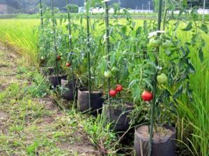 水田に設置したもみ殻培地栽培のトマト'麗夏'