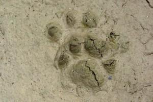 侵入した動物の足跡写真です.ハクビシンでしょうか?