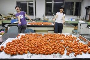 収獲されたクッキングトマト.手前の実験台に'すずこま',後ろの実験台に'なつのこま'を載せました