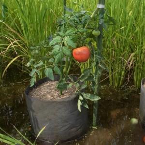 真っ赤に熟れた生食用トマト'麗夏'