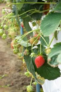 暑い盛りに元気に実を付けている簡易高設栽培イチゴ