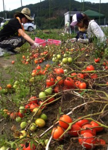 トマトの収穫作業中.まだまだ採れそうです.