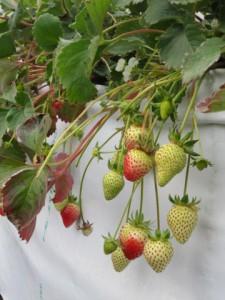 イチゴの簡易高設栽培で実ったイチゴ.