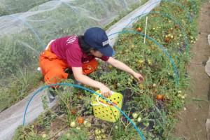 クッキングトマトを収穫する4年生.