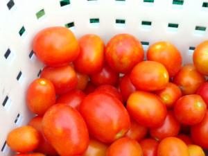 収穫されたクッキングトマト,つやつやで美味しそうです.