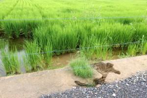 陸前高田市小友町の復旧された水田で見られた畦畔の崩落.