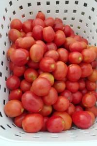 本日収穫されたクッキングトマトです.