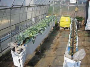 イチゴの高設栽培用ベッドを利用して、株間10cmで栽培