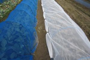 夏は虫除けと暑さ対策を兼ねて、防風ネットや寒冷紗の被覆がお奨め