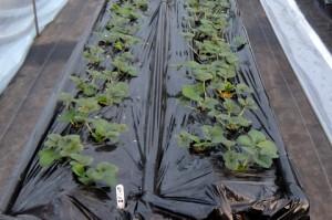 入門者用夏取りイチゴ栽培システムで育てられているイチゴ