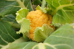 収穫どきのオレンジ美星.姫かりふⓇの大きさです.
