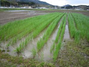 雨水の溜まるライ麦畑