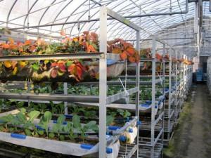 イチゴとカリフラワーの二段栽培
