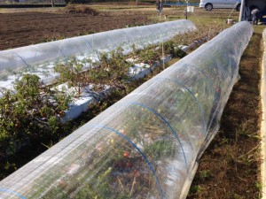 クッキングトマトのトンネル栽培