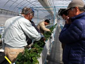 熱心にイチゴの高設栽培を見学